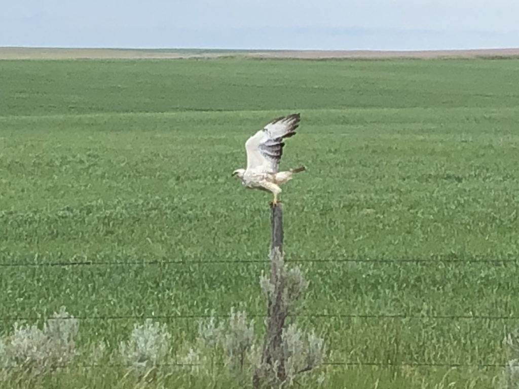 A falcon taking wing from a fence post
