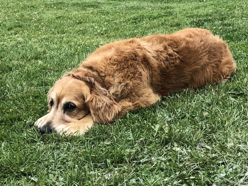Cali laying in the grass, head down between her paws, looking sad
