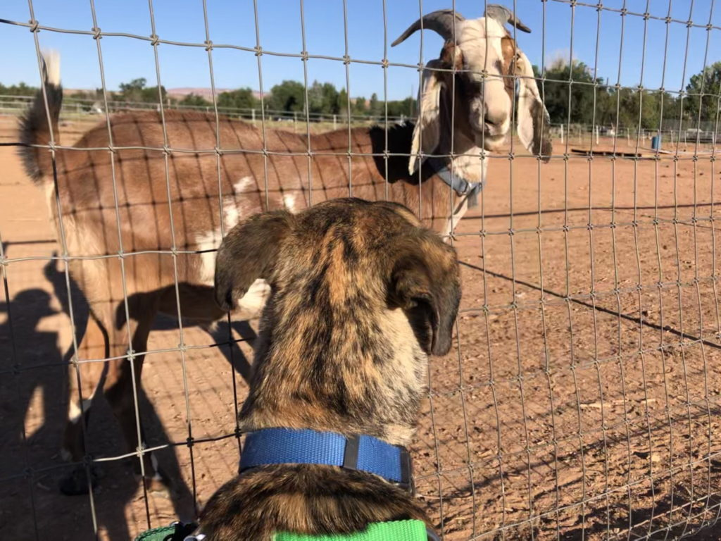 Lesh meets a goat through a wire fence