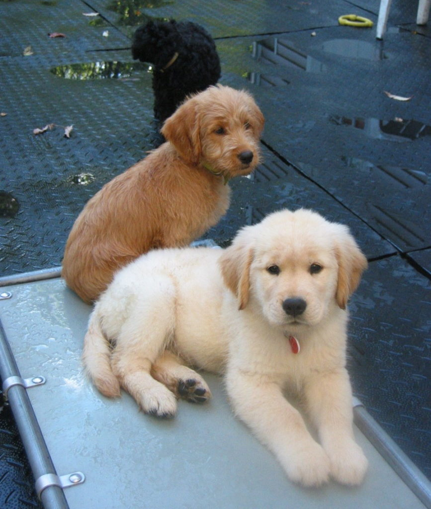 Three puppies sitting together in an outdoor pen
