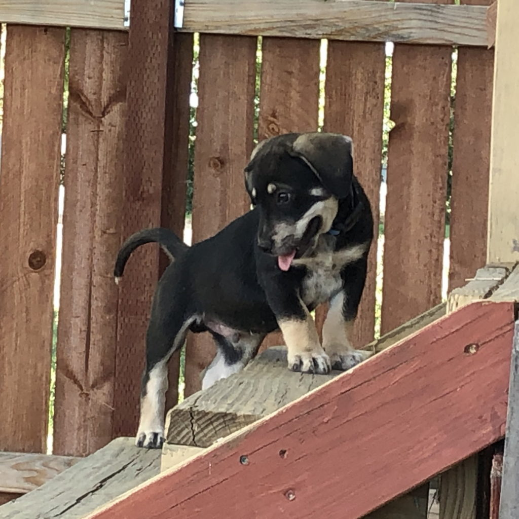 Puppy looking backward while climbing up stairs