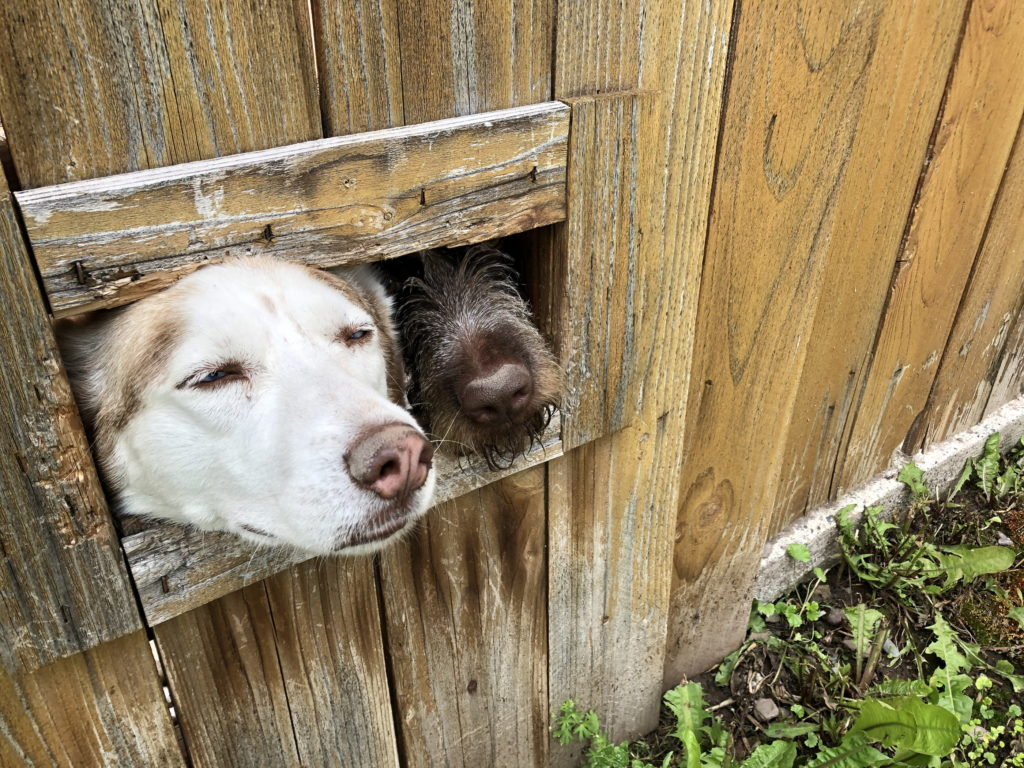 Two dogs jockey to stick their noses out a rectangular hole in a wooden fence