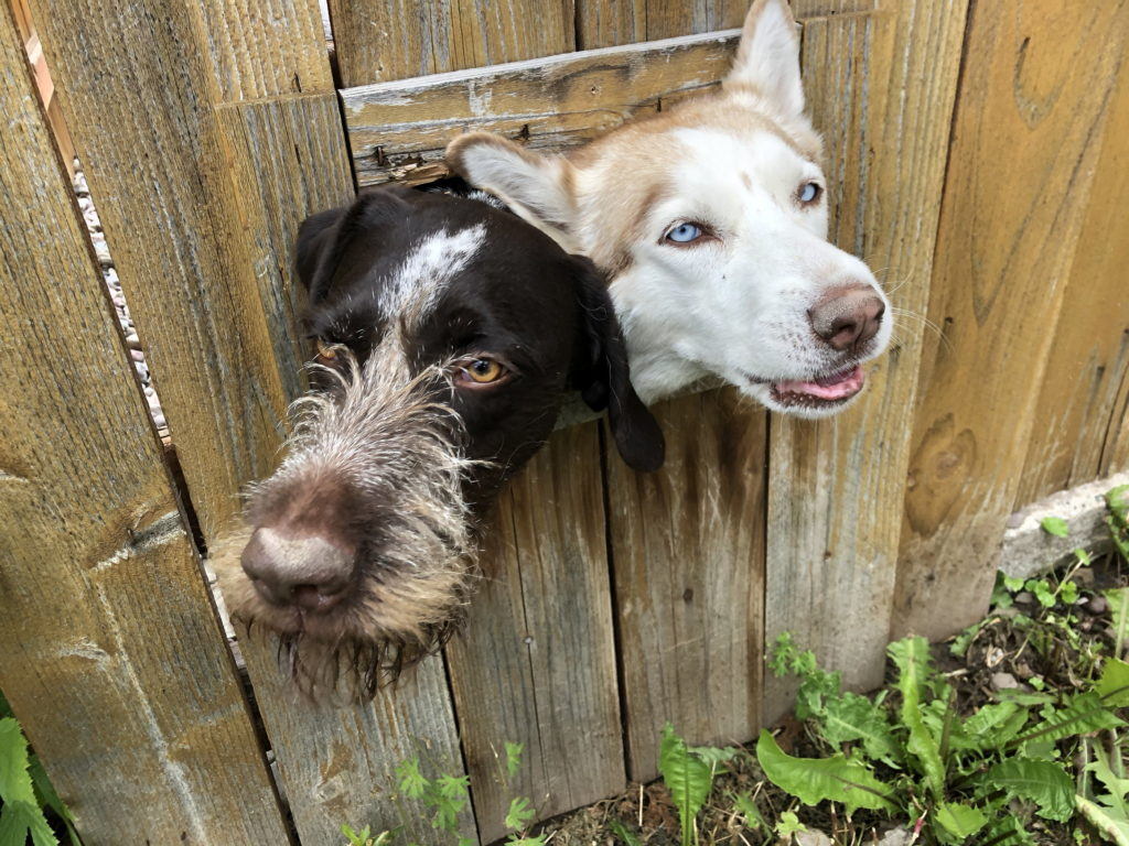 Two dogs crowd together to stick their heads out a rectangular hole in a wooden fence
