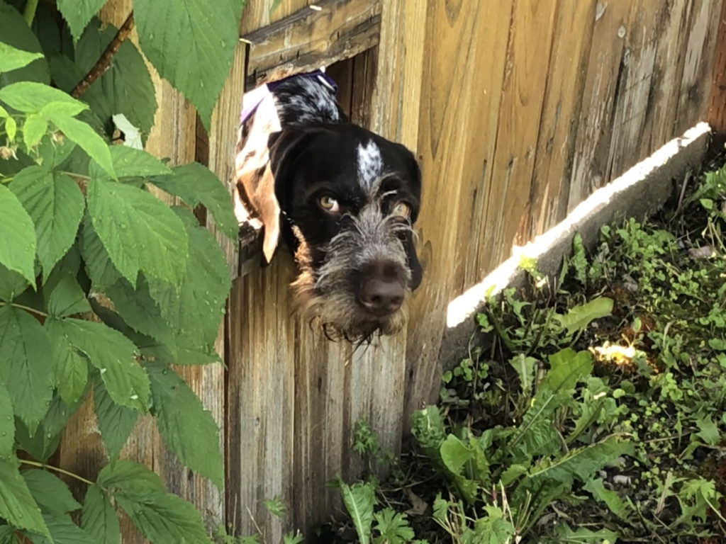 A scruffy dog stares at the camera after poking its head out a rectangular hole in a wooden fence