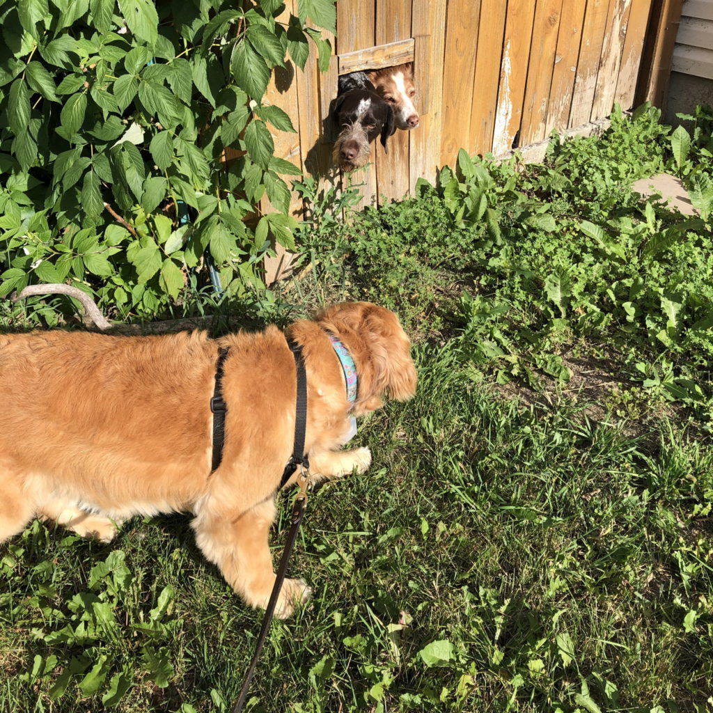 A golden retriever cautiously approaches two dogs sticking the heads out a rectangular hole in a wooden fence